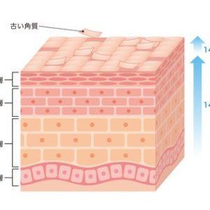 肌の構造のイラスト